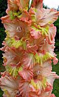 гладиолус sdlg