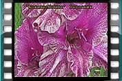 Видео-12 Коллекционные сорта гладиолусов
