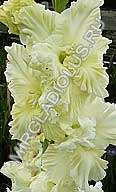 гладиолус Белая Метелица