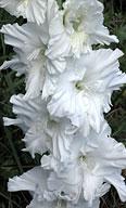 гладиолус Белый Журавль
