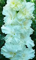 гладиолус Белый Парус
