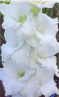 гладиолус Белая Стрела (Белый Крем)