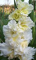гладиолус Белое Золото 2