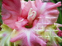 календарь-гладиолусы Райская Птичка