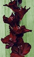 гладиолус Чёрный Канделябр