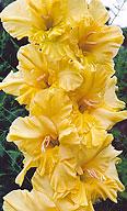 гладиолус Цветок Солнца