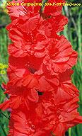 гладиолус Цветок Страсти