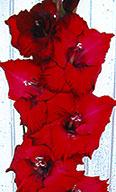 гладиолус Гранатовый Блеск