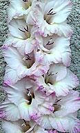 гладиолус Havajka