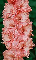 гладиолус Клубничный Пломбир