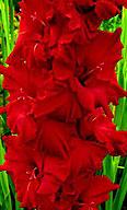 гладиолус Красная Звезда