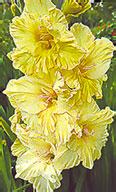 гладиолус Масленница