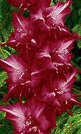 гладиолус Малиновый Серпантин