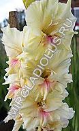гладиолус Фаленопсис /Phalaenopsis