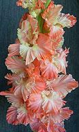 гладиолус PINK HUMMINGBIRD /Пинк Хамингбэрд /Розовый Колибри