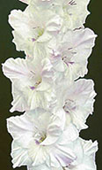 гладиолус Позёмка