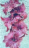 гладиолус Пурпурный Веер