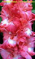 гладиолус Розовый Вальс