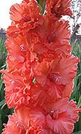 гладиолус Рыжий Ап