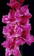гладиолус Сиреневый Мрамор