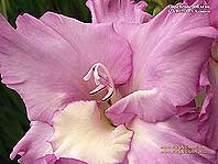 фото(макро) гладиолуса Сиреневое Облако
