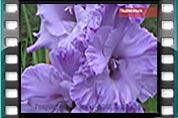 Видео Гладиолусы-7 Коллекционные сорта