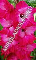 гладиолус Влюблённый
