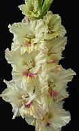 гладиолус Вятский Сувенир