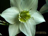 Цветок эухариса (макро съёмка) - 1024 x 768