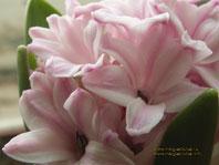 Цветок гиацинта (макро съёмка) - 1024 x 768