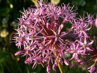 Цветок лука гигантского (макро) - 1024 x 768
