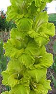 гладиолус Зелённая Юрмала