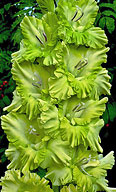гладиолус Зелёная Фея