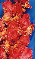 гладиолус Золотая Паутинка